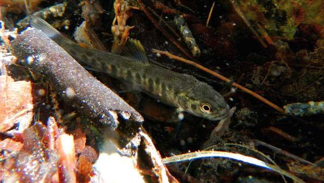 Watfischen am Gebirgsbach im Frühjahr